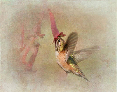 Rufous Hummingbird In Cape Fuchshia Poster by Angie Vogel