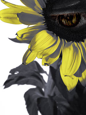 Sad Sunflower Poster by Kelly Jade King