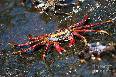 Sally Lightfoot Crab Poster by Dave Fleetham - Printscapes