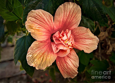 Salmon Color Hibiscus Poster by Robert Bales