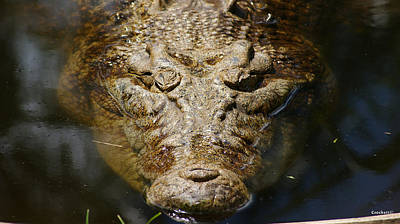 Saltwater Crocodile 6 Poster by Gary Crockett