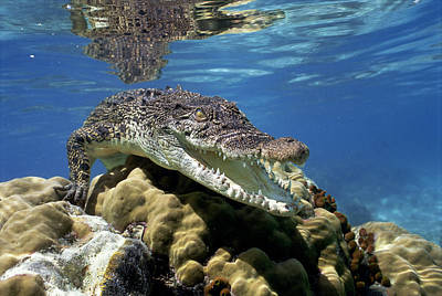 Saltwater Crocodile Smile Poster by Mike Parry
