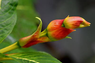 Sanchezia Nobilis Poster by Tropical Ties Dominica