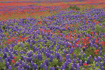 Sand Bluebonnet And Paintbrush Poster by Tim Fitzharris