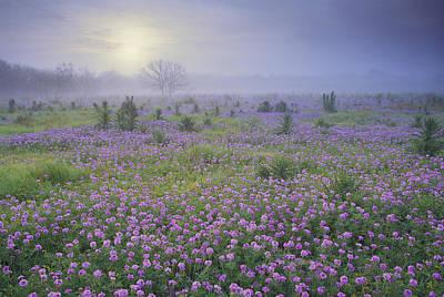 Sand Verbena Flower Field At Sunrise Poster by Tim Fitzharris