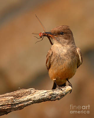 Say's Phoebe Pausing With Freshly Caught Red Dragonfly In Beak Poster by Max Allen