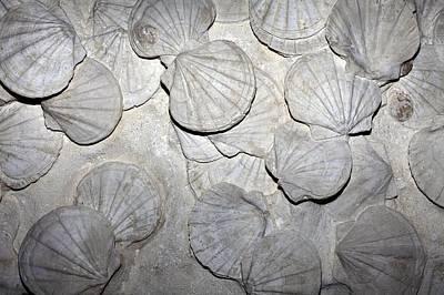 Scallop Fossils Poster by Dirk Wiersma