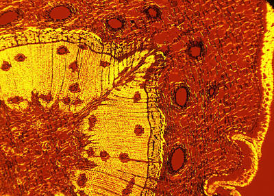 Scots Pine Tree Stem, Light Micrograph Poster by Dr Keith Wheeler