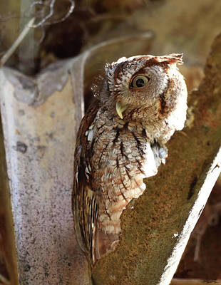 Screech Owl On The Lookout Poster by Sally Sperry