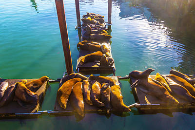 Sea Lions Sunning On Dock Poster by Garry Gay