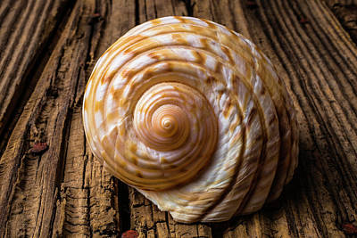 Sea Shell Study In Brown Tones Poster by Garry Gay