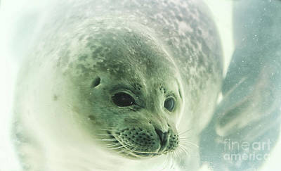 Seal Underwater In Close Up Poster by Patricia Hofmeester