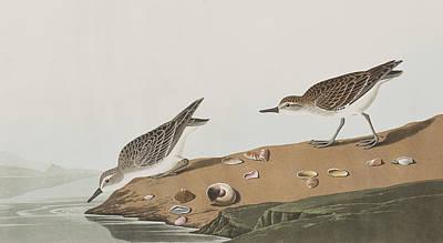 Semipalmated Sandpiper Poster by John James Audubon