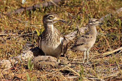 Senegal Thick-knee Poster by Eric Woods/FLPA