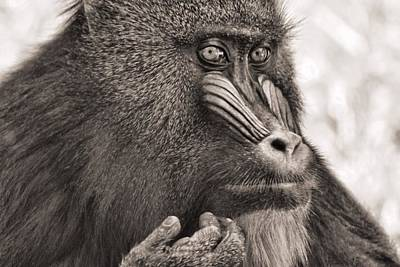 Sepia Mandrill Portrait Poster by Dan Sproul