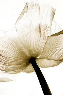 Sepia Poppy Flower Poster by Frank Tschakert