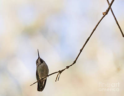 Shadow Hummer Poster by Kate Brown