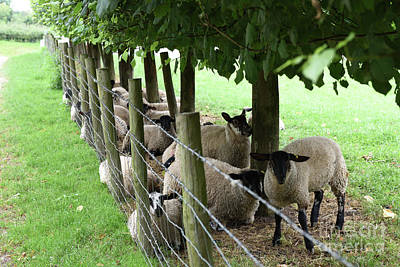 Sheep Finding Shade Poster by Russell Binns