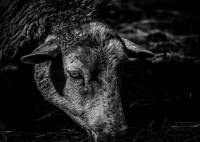 Sheep Head Poster by Bob Orsillo