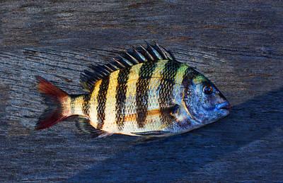 Sheepshead Fish Poster by Laura Fasulo