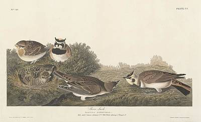 Shore Lark Poster by John James Audubon