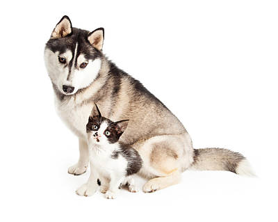 Siberian Husky Dog Sitting With Little Kitten Poster by Susan Schmitz