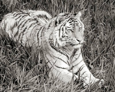 Siberian Tiger In Grass Poster by Jim Hughes