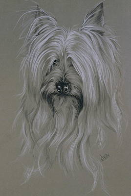 Silky Terrier Poster by Barbara Keith