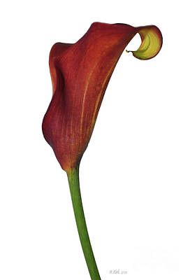 Single Rust Calla Lily Stem Poster by Heather Kirk