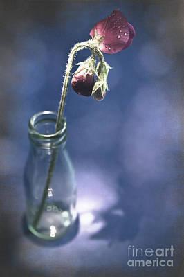 Single Sweetpea Poster by Jan Bickerton