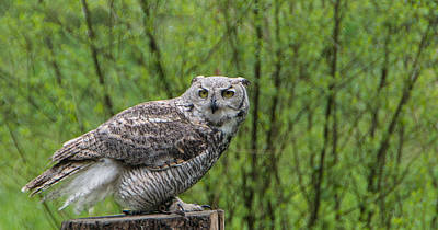 Juvenile Great Horned Owl 2 Poster by Marilyn Wilson