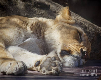 Sleeping Beauty,  Houston Zoo Poster by TN Fairey
