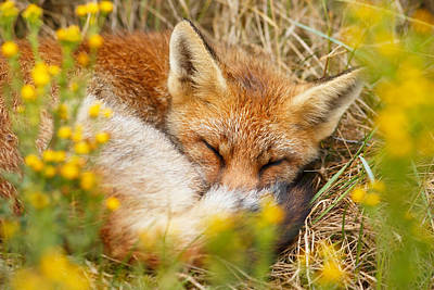 Sleeping Beauty - Sleeping Red Fox Poster by Roeselien Raimond