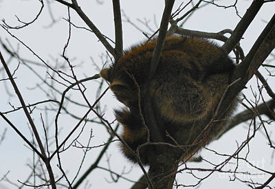 Sleeping Coon Poster by Randy Bodkins
