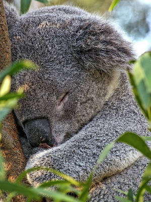 Sleeping Koala - Canberra - Australia Poster by Steven Ralser