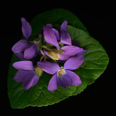 Sleeping Violets Poster by Marsha Tudor