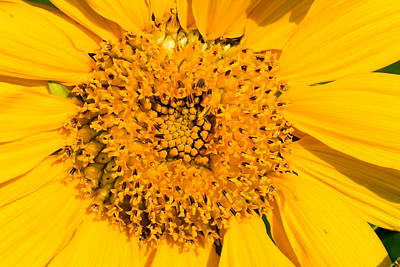 Smiling Sunflower Poster by Amanda Kiplinger