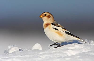 Snow Bunting (plectrophenax Nivalis) Poster by Mircea Costina