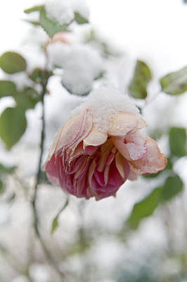 Snow-covered Rose Flower Poster by Frank Tschakert