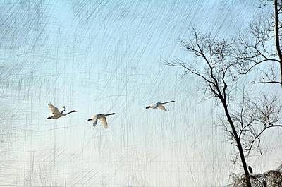 Snow Geese In Flight Poster by Marty Koch