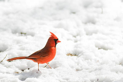 Snow Male Cardinal  Poster by Terry DeLuco