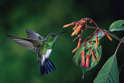 Snowy-bellied Hummingbird Costa Rica Poster by Michael and Patricia Fogden