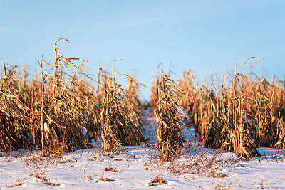 Snowy Corn Rows Poster by Todd Klassy