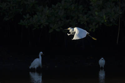 Snowy Egret Gliding In The Morning Light Poster by David Watkins