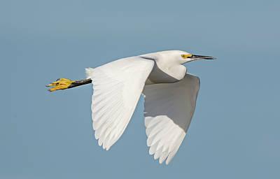 Snowy Egret In Flight Poster by Loree Johnson