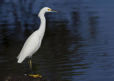 Snowy Egret Perched On A Rock Poster by David Watkins