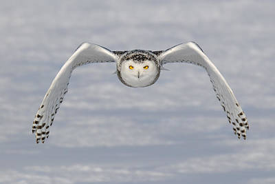 Snowy Owl Poster by Scott  Linstead