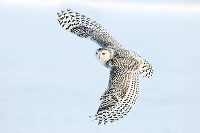 Snowy Owl Topside Poster by Scott  Linstead