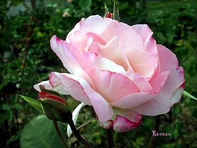 Soft Pink Rose Poster by Sadie Reneau