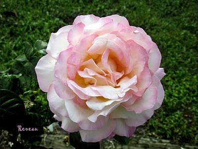 Soft Pink-white Rose Poster by Sadie Reneau
